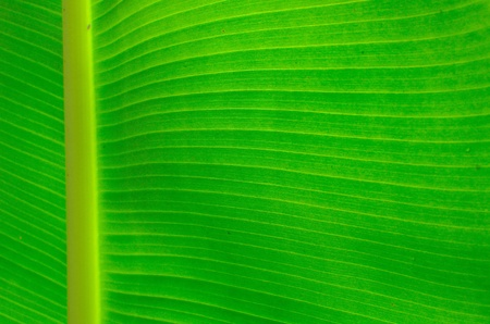 green banana leaf Stock Photo - 13414701