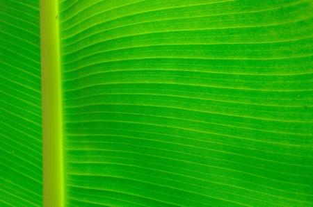 agriculture wallpaper: green banana leaf
