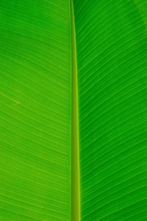 banana leaf: green banana leaf