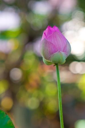 pink lotus flower photo