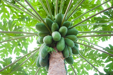 Papaya tree with bunch of green fruits photo