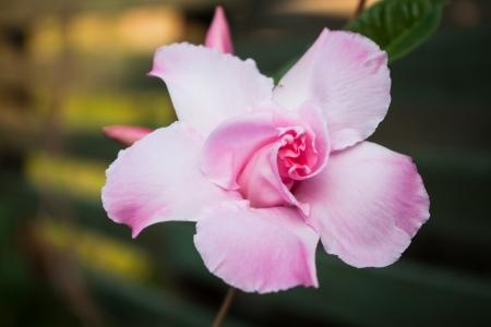 dipladenia: Primo piano di rosa rosa Dipladenia nel giardino di casa