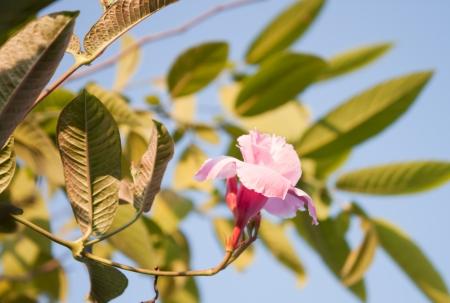 dipladenia: Pink rose Dipladenia