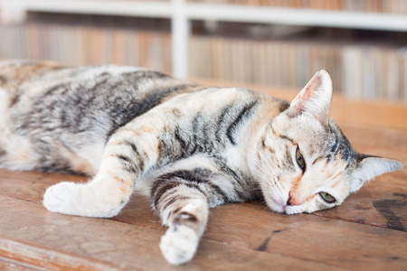 Siamese cat lying on wooden table, stock photo photo
