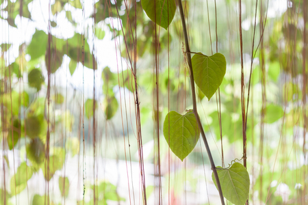 creeping fig: Green leaves hanging in home garden, stock photo Stock Photo