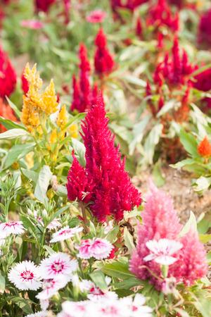 touraine: Beautiful red flower in garden, stock photo