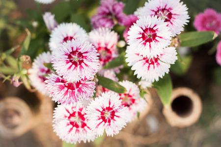 secale: Beautiful white flower in garden, stock photo Stock Photo