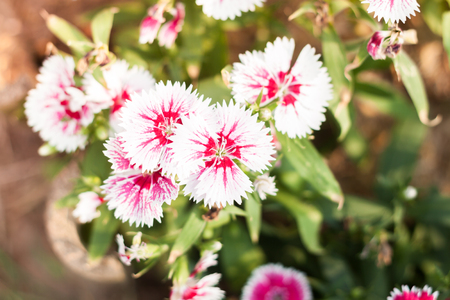 touraine: Beautiful white flower in garden, stock photo Stock Photo
