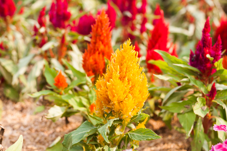 touraine: Beautiful yellow flower in garden, stock photo Stock Photo