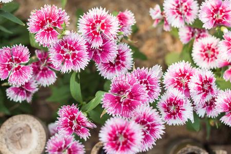 touraine: Beautiful pink flower in garden, stock photo
