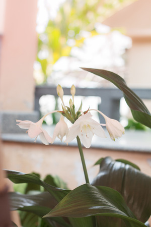 hippeastrum flower: White Hippeastrum flower with green leaves, stock photo