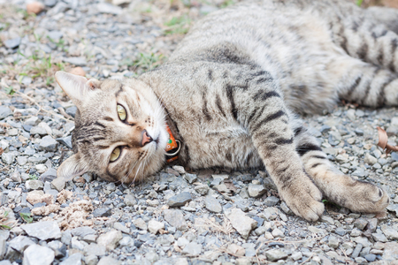 grey eyed: Thai cat laying down with relax post, stock photo Stock Photo