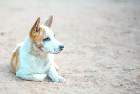 fleas: Thai puppy with fleas at the eyes