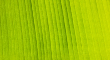 Banana Leaf is tropical tree photo
