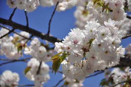 white sakura flowers in Osaka, Japan