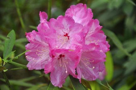 a pink flower, Kamakura