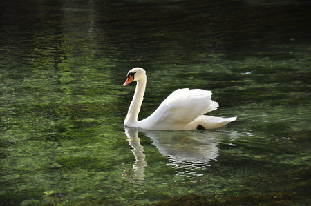 a swan in the lake, Annecy  Stock Photo