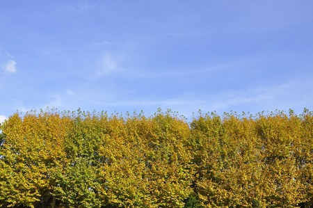 contrast between yellow trees and blue sky Stock Photo