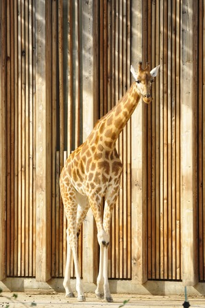 a giraffe in parc de la tete d or, Lyon