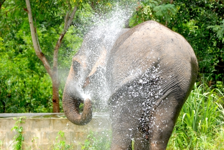 A Thai Elephant in the water