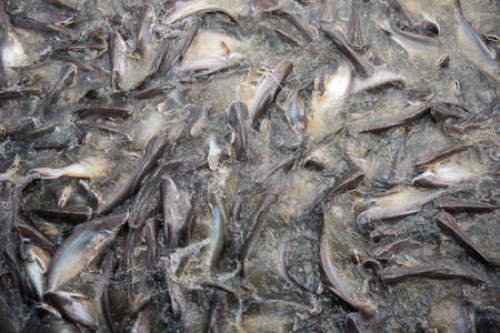 feeding frenzy: Feeding Frenzy of Fish mostly catfish