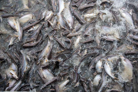 bagre: Feeding Frenzy de pescado en su mayor�a bagre