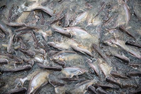 bagre: Feeding Frenzy de pescado en su mayoría bagre