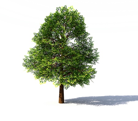 broadleaved tree: Deciduous tree rendered isolated on white background