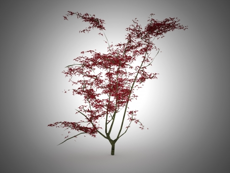 palmatum: Red Japanese leaf tree on black background