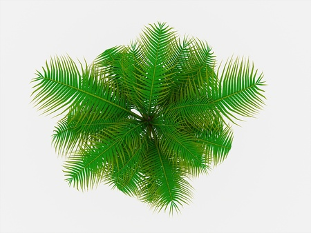 areca: Palm tree on top view isolated