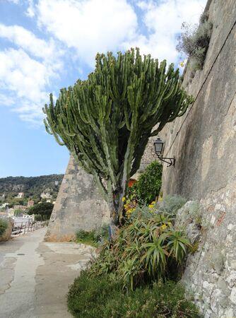 Cactus tree in rivierea  Euphorbia Ingens