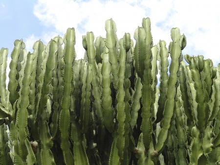 Cactus tree, Euphorbia Ingens