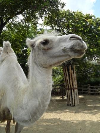 White camel face