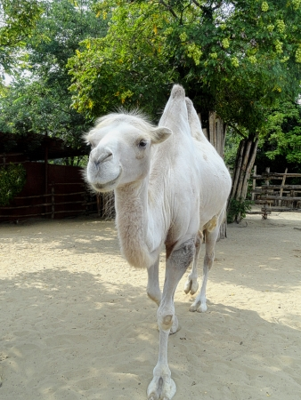 Young white camel walking in Budapest zoo