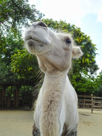 Cute white camel kid face Stock Photo