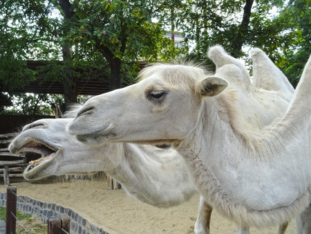 White camels faces