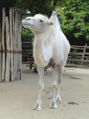 Young white camel in Budapest zoo