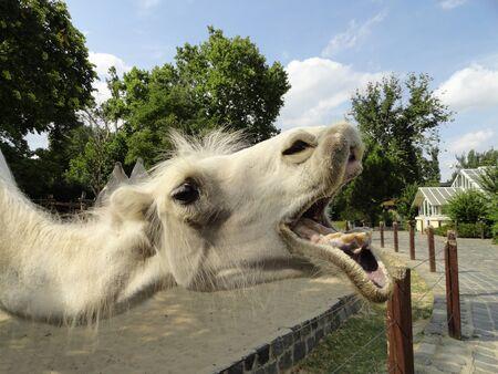 Funny white camel muzzle