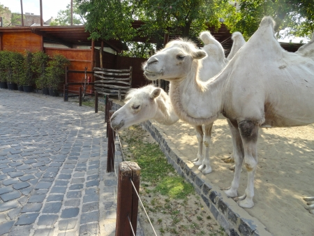 White camels couple in Budapest zoo