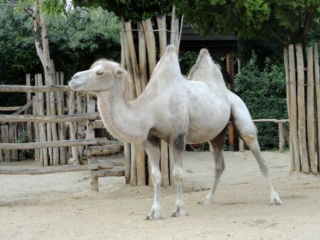 White camel in a zoo