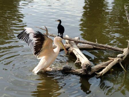 Pelican on the lake with a turtle