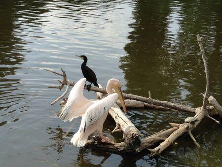 pelikan: Pelican on the lake
