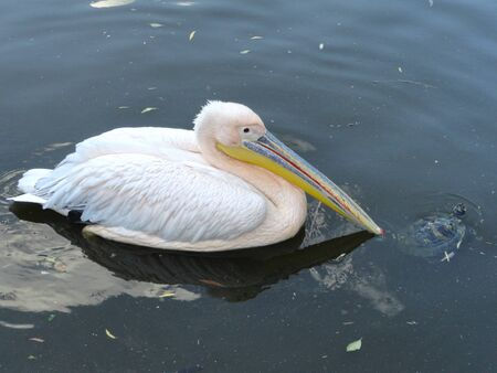Pelican swim with a turtle