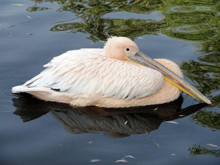 Pink pelican rest