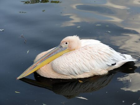 Pink pelican rest                             Stock Photo
