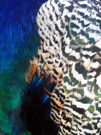 Colorful peacock plumage texture Stock Photo