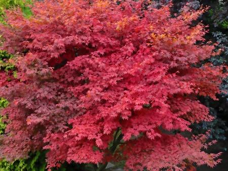 acer platanoides: Red maple tree's foliage  Stock Photo