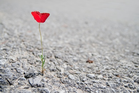 갈라진 금: 아스팔트를 통해 성장하는 단일 빨간 양귀비 꽃