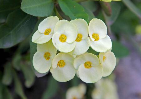 Euphorbia Milii flower plant photo