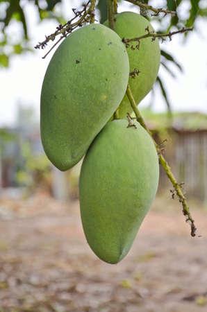 fresh mango on tree photo